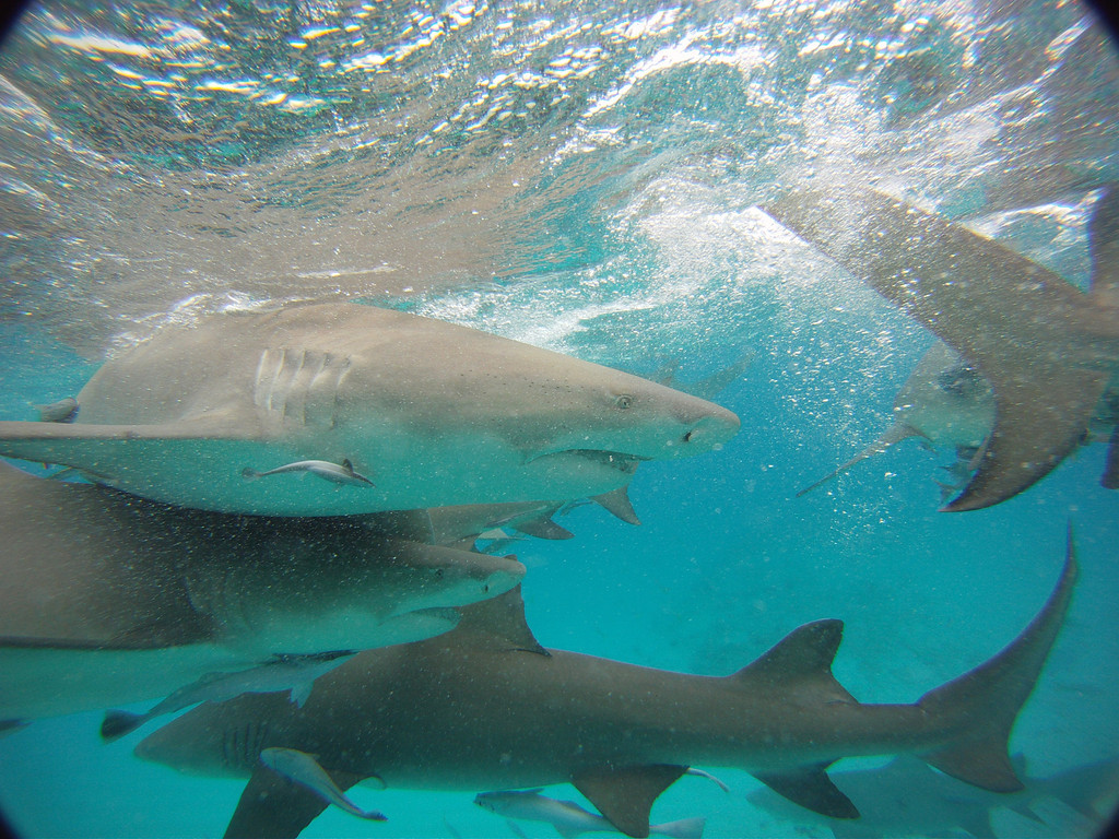 Go shark diving off Grand Bahama Island